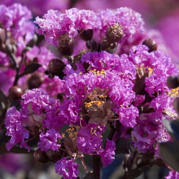 Black Diamond Purely Purple Crape Myrtle
