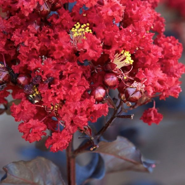 Black Diamond Red Hot Crape Myrtle