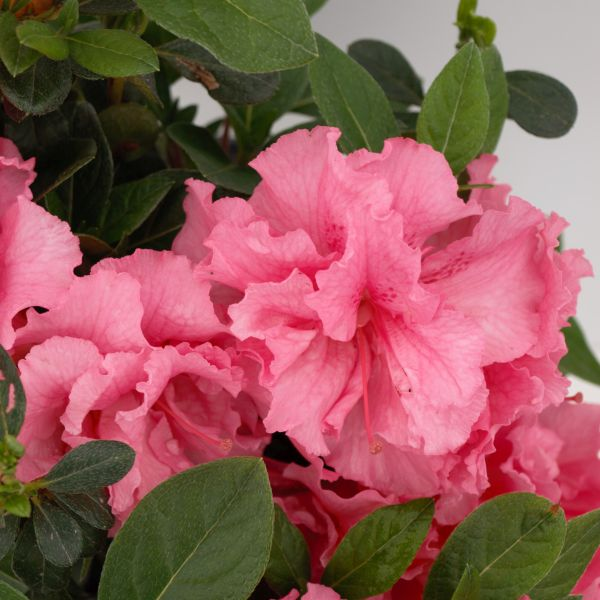 Bloom-A-Thon Pink Double Azalea