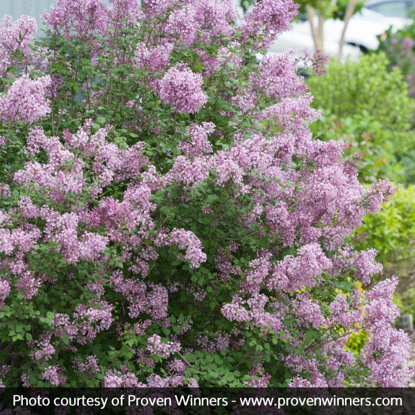 Bloomerang Lilac