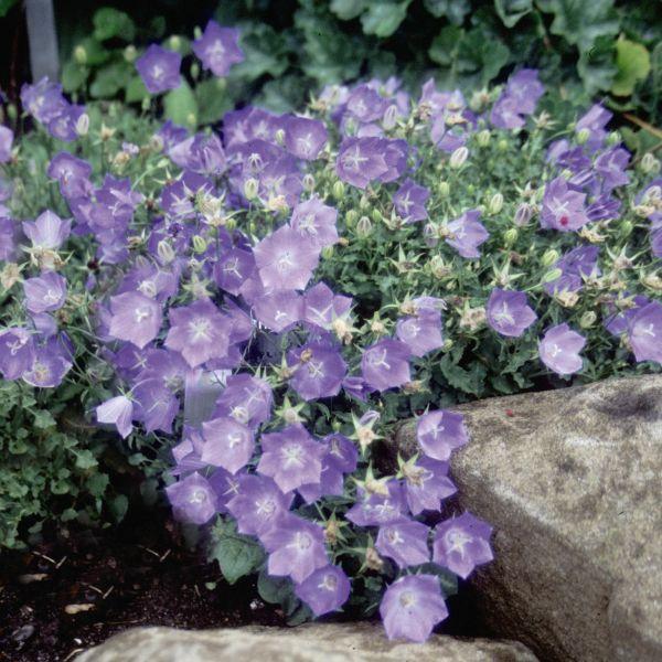 Blue Clips Bellflower