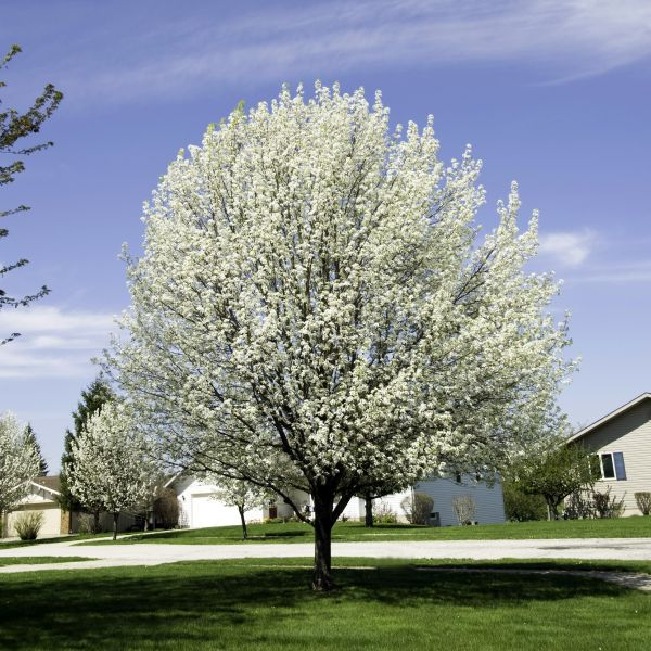 Bradford Flowering Pear
