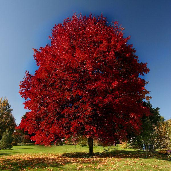 Brandywine Maple Tree
