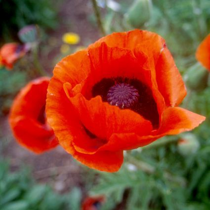 Brilliant Oriental Poppy