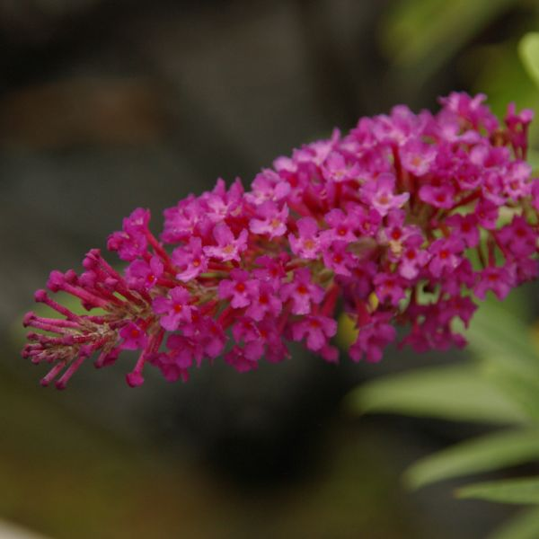 Buzz Magenta Butterfly Bush