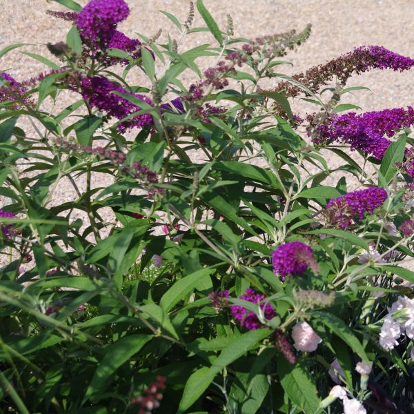 Buzz Purple Butterfly Bush