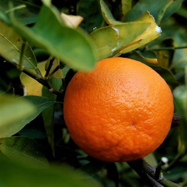 California Honey Mandarin