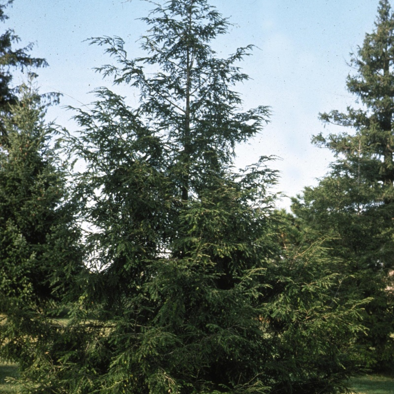 6 foot privacy wall privacy trees for sale nature hills nursery