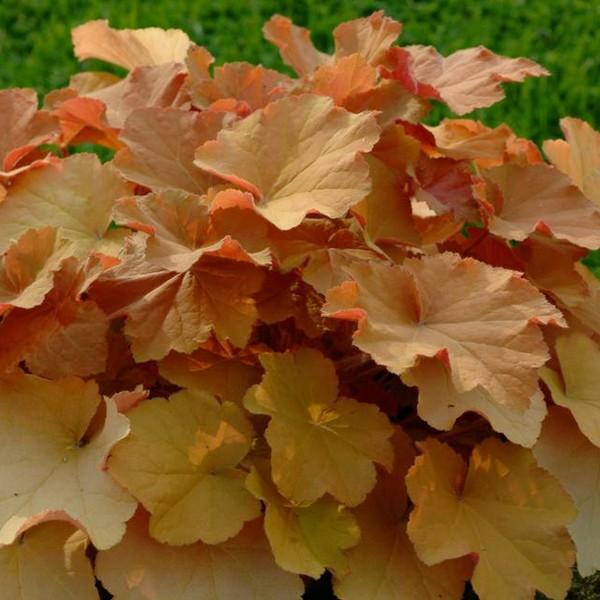 Caramel Coral Bells