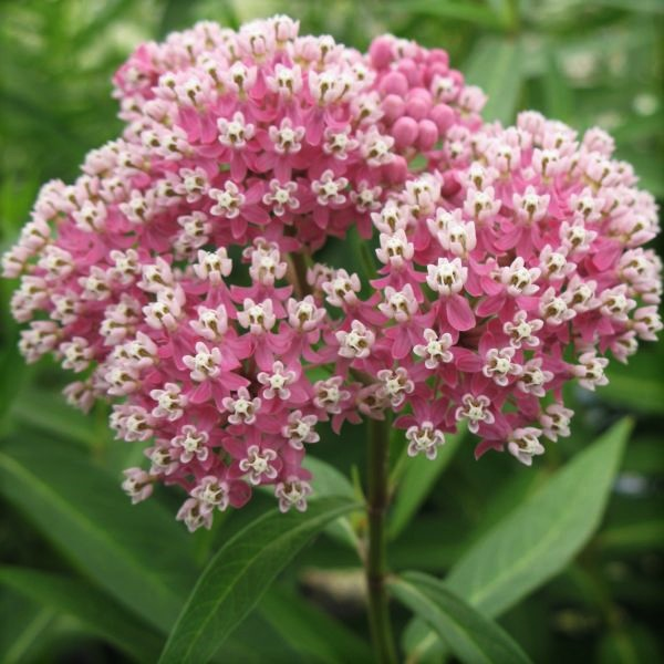 Cinderella Butterfly Weed