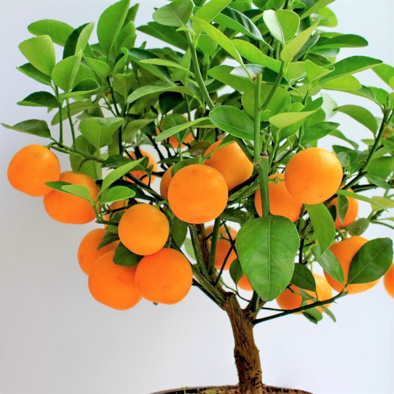 Clementine Mandarin Orange Tree