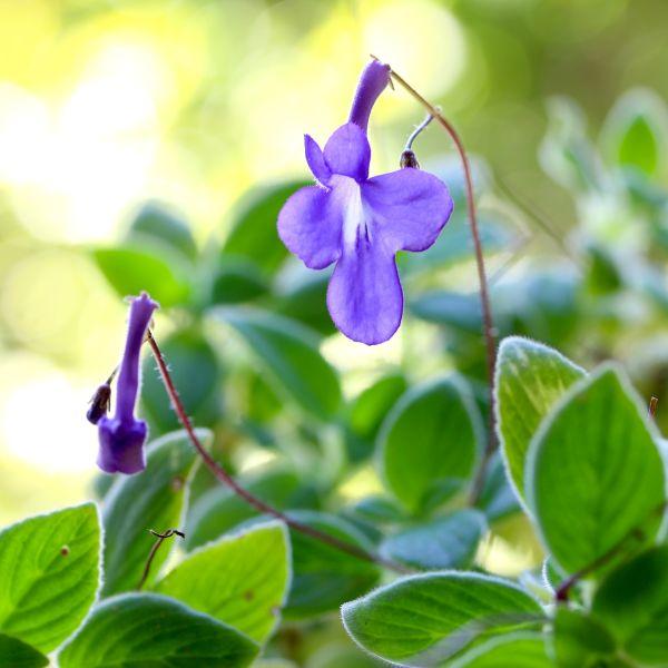 Concord Blue African Violet Streptocarpella