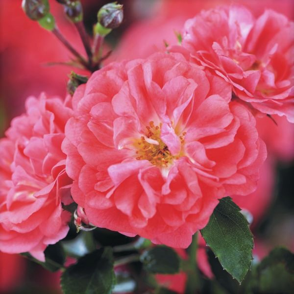 Coral Drift Groundcover Rose