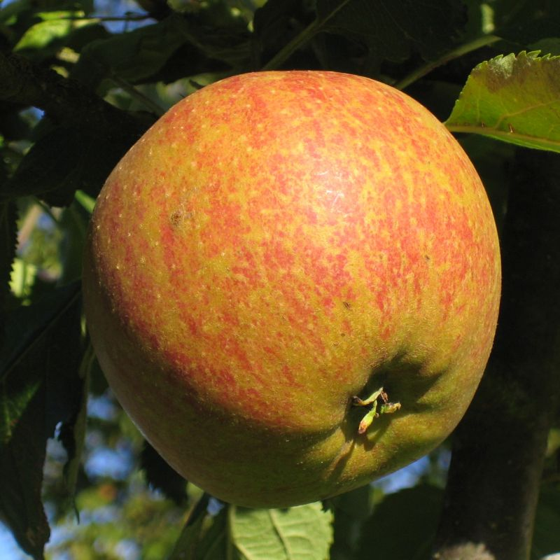 Cox Orange Pippin Apple Tree
