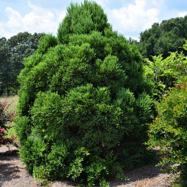 Windbreak trees for sale nature hills nursery chapel view japanese cedar sciox Choice Image