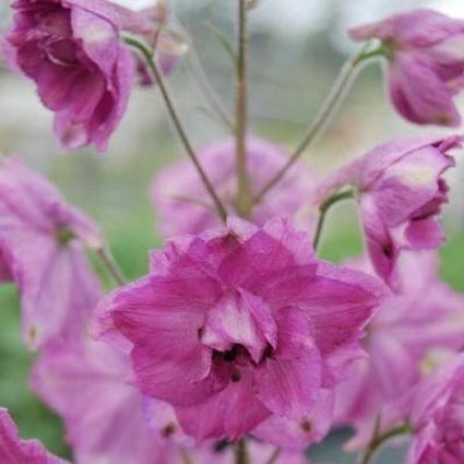 Delphinium Pink Punch