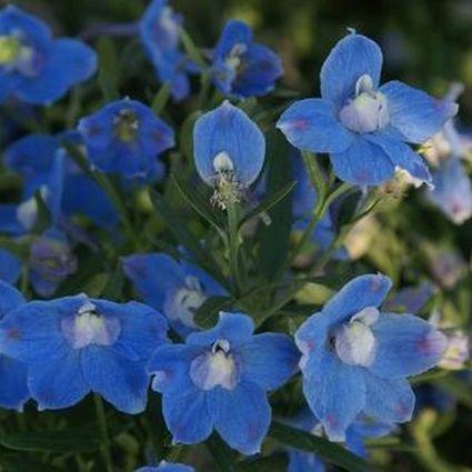 Delphinium Butterfly Blue