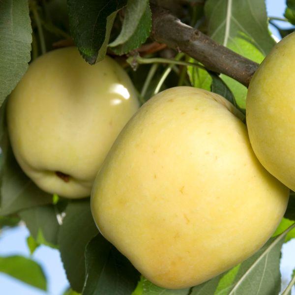 Dorsett Golden Apple Tree