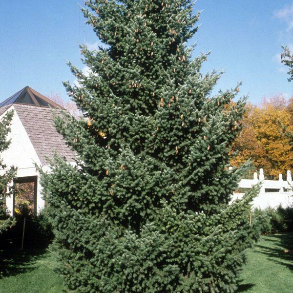 Douglas Fir Christmas Tree.Douglas Fir Tree