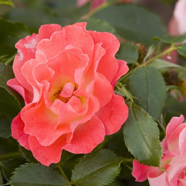 Easy Elegance Coral Cove Rose