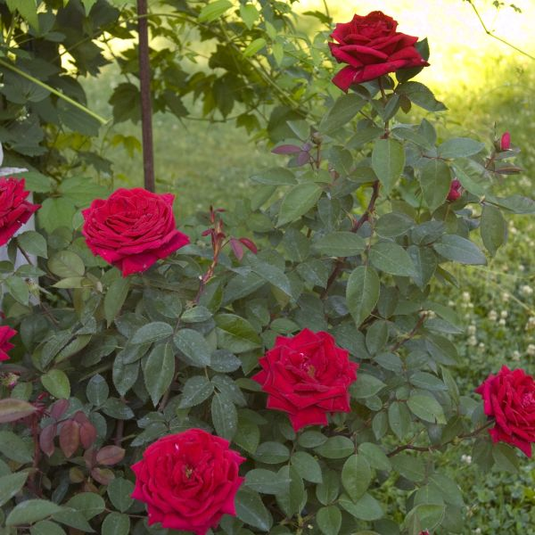 Easy Elegance Kashmir Rose