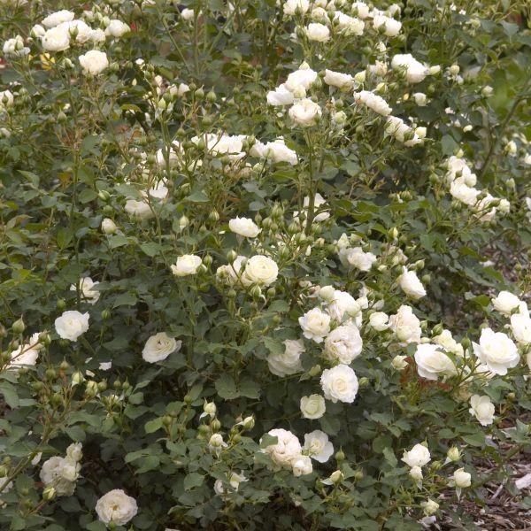 Easy Elegance Snowdrift Rose