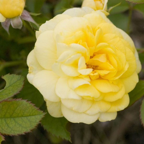 Easy Elegance Yellow Brick Road Rose