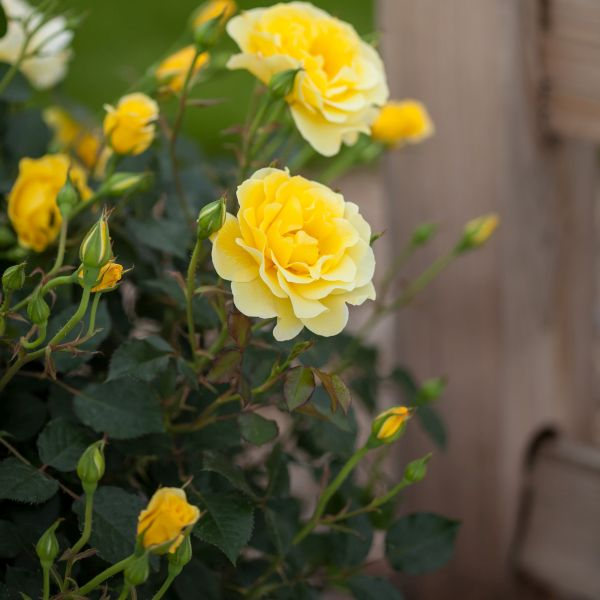 Easy Elegance Yellow Submarine Rose