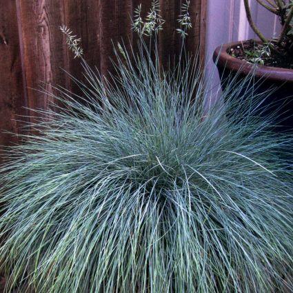 Beyond Blue Fescue Grass