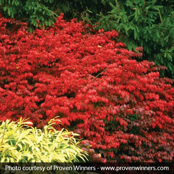 Fireball Burning Bush