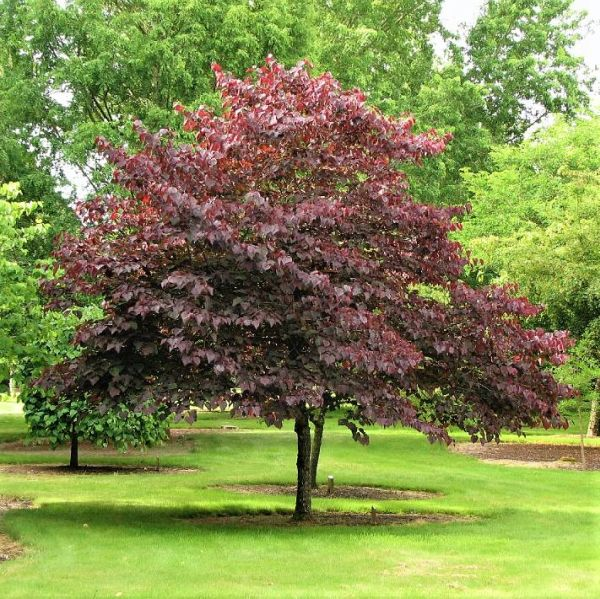 Forest Pansy Redbud Buy At Nature Hills Nursery