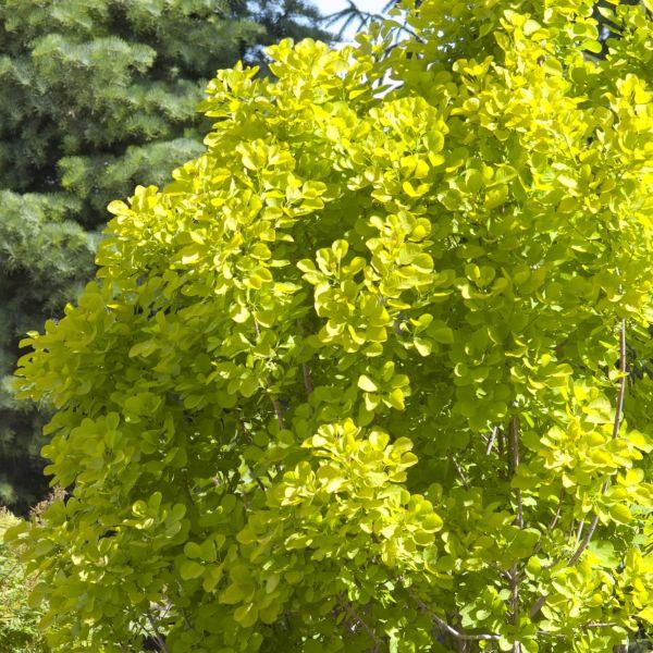 Golden Spirit Smokebush