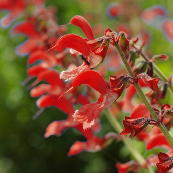 Furmans Red Salvia