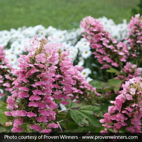 Gatsby Pink Oakleaf Hydrangea Buy At Nature Hills Nursery