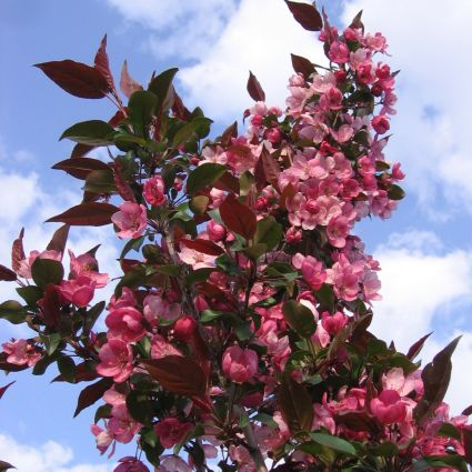 Gladiator Crabapple Tree