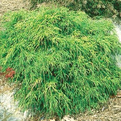 Golden Mop False Cypress