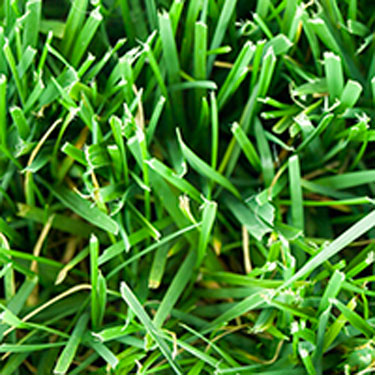 Greenspan Fescue Grass Plugs