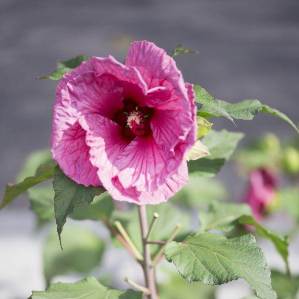 Hibiscus Plum Crazy
