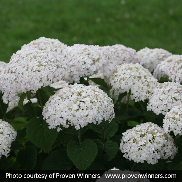Invincibelle Wee White Hydrangea