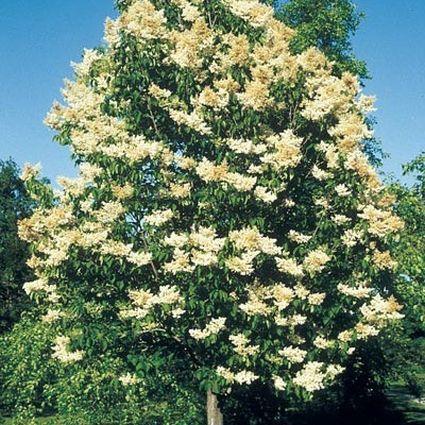 Ivory Silk Lilac Tree