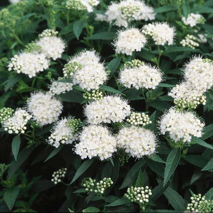 Japanese White Spirea