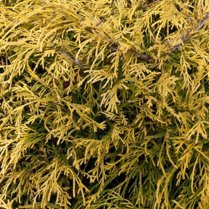 Japanese Lemon Thread False Cypress
