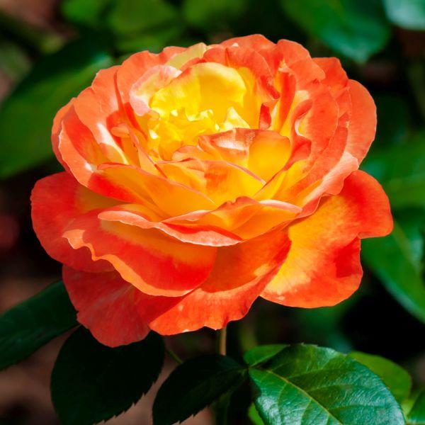 Judy Garland Floribunda Rose