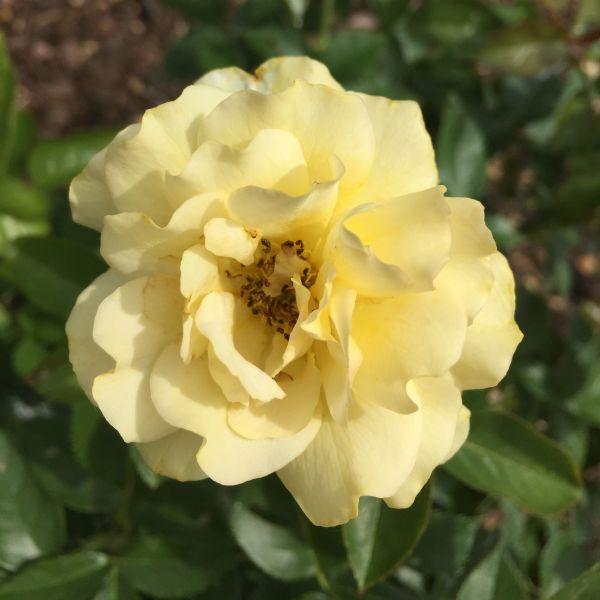 Julia Child Rose