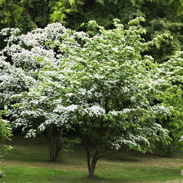 Kousa Dogwood Buy At Nature Hills Nursery