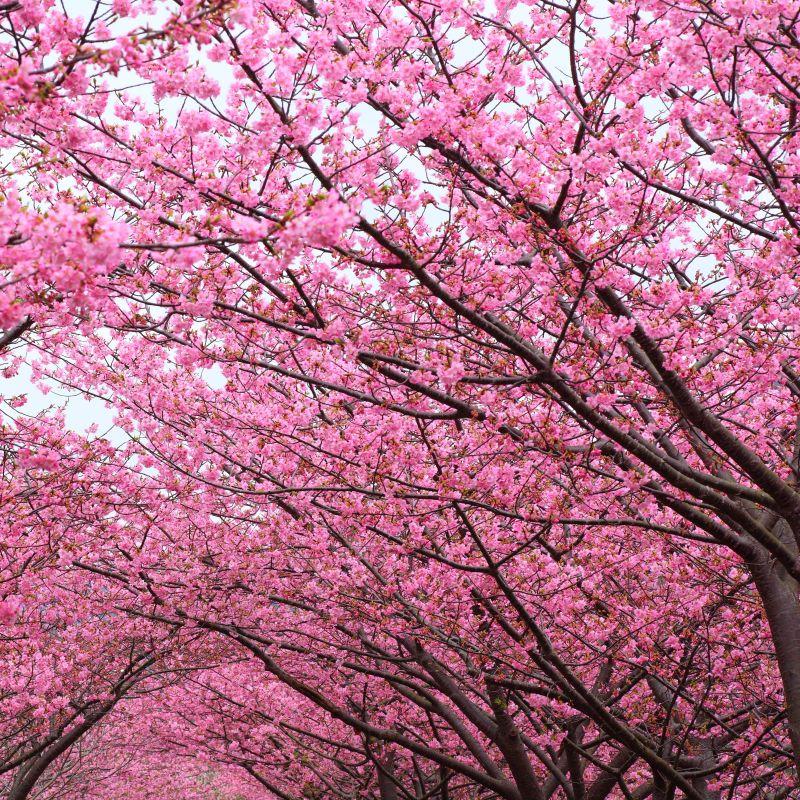 Kwanzan Flowering Cherry Buy At Nature Hills Nursery