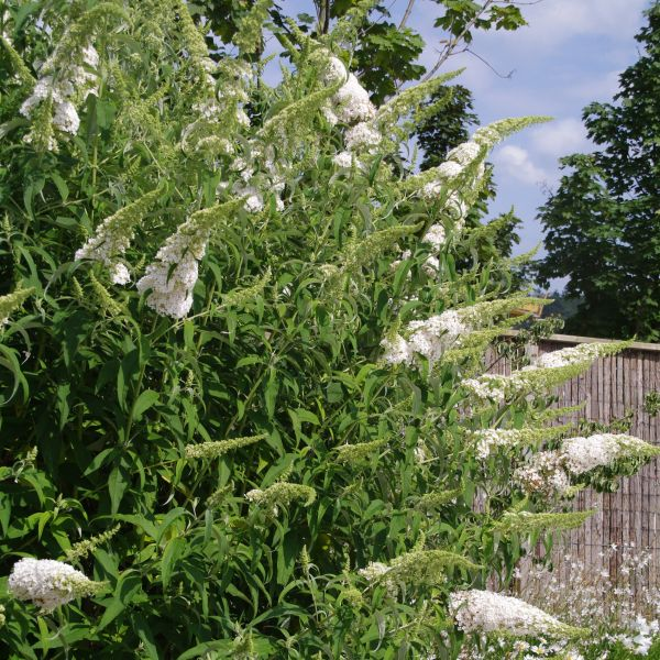Buzz Ivory Butterfly Bush