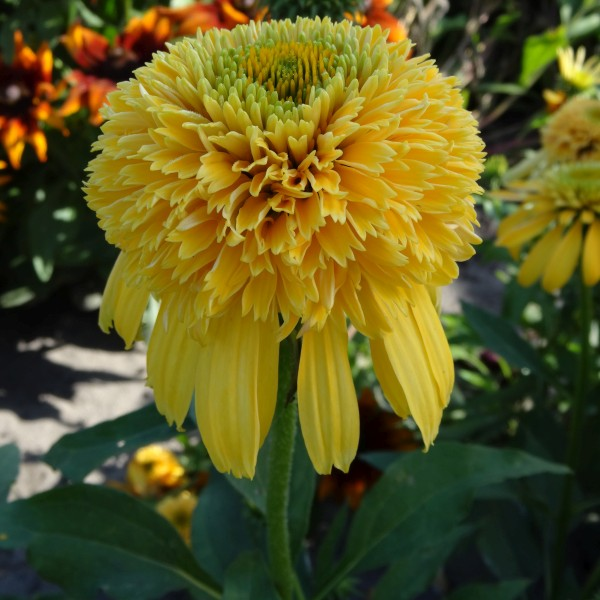 Lemon Drop Coneflower