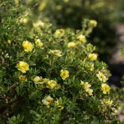 Lemon Meringue Potentilla