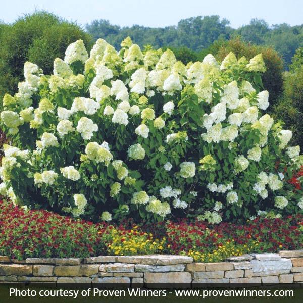 Limelight Hydrangea | Nature Hills Nursery